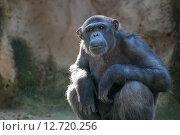 Купить «Шимпанзе внимательно смотрит в камеру», фото № 12720256, снято 24 сентября 2012 г. (c) Анна Кучерова / Фотобанк Лори