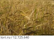 Колосья ржи в поле. Стоковое фото, фотограф Аркадий Рыпин / Фотобанк Лори