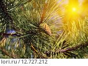Купить «Сосна горная (лат. Pinus mugo). Хвоя и почки крупным планом», фото № 12727212, снято 4 апреля 2015 г. (c) Сергей Трофименко / Фотобанк Лори