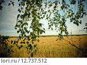 Ветки берёзы с зелёными листьями на фоне русского поля (2014 год). Стоковое фото, фотограф Дарья Арифуллина / Фотобанк Лори
