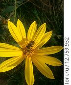 Пчела на цветке. Стоковое фото, фотограф Светлана Колотухина / Фотобанк Лори