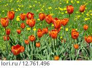 Купить «Красные тюльпаны на фоне лужайки с одуванчиками», эксклюзивное фото № 12761496, снято 20 мая 2015 г. (c) Елена Коромыслова / Фотобанк Лори