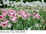 Купить «Розовые и белые сортовые тюльпаны», эксклюзивное фото № 12761504, снято 20 мая 2015 г. (c) Елена Коромыслова / Фотобанк Лори