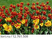 Купить «Красно-желтые махровые сортовые тюльпаны», эксклюзивное фото № 12761508, снято 20 мая 2015 г. (c) Елена Коромыслова / Фотобанк Лори