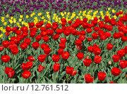 Купить «Разноцветные тюльпаны, фон», эксклюзивное фото № 12761512, снято 20 мая 2015 г. (c) Елена Коромыслова / Фотобанк Лори