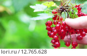 Купить «Ягоды красной смородины на ветке и рука человека, трогающая гроздь», видеоролик № 12765628, снято 12 сентября 2015 г. (c) Кекяляйнен Андрей / Фотобанк Лори