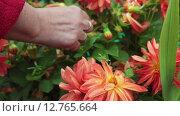 Купить «Женская рука ухаживает за растущими красными георгинами, крупный план», видеоролик № 12765664, снято 11 сентября 2015 г. (c) Кекяляйнен Андрей / Фотобанк Лори
