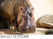 Hippo under the bright summer sun. Стоковое фото, фотограф Elnur / Фотобанк Лори