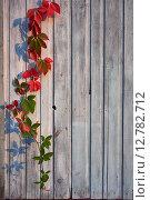 Старая деревянная стена с девичьим виноградом. Стоковое фото, фотограф Дарья Андрианова / Фотобанк Лори