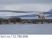 Купить «Охота белого медведя на моржей. Земля Франца-Иосифа», фото № 12786896, снято 20 августа 2015 г. (c) Николай Гернет / Фотобанк Лори