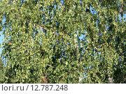 Купить «Густая крона березы. Растительный фон», фото № 12787248, снято 15 ноября 2019 г. (c) Говорова Лариса / Фотобанк Лори