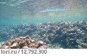Купить «Рыбы чистильщики (Aspidontus taeniat) чистят морскую щуку Саргана (Belone belone) на коралловом рифе, Красное море, Марса-эль-Алам, бухта Абу-Дабаб, Египет», видеоролик № 12792300, снято 1 июня 2015 г. (c) Некрасов Андрей / Фотобанк Лори