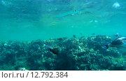 Купить «Рыбы чистильщики (Aspidontus taeniat) чистят морскую щуку Саргана (Belone belone) на коралловом рифе, Красное море, Марса-эль-Алам, бухта Абу-Дабаб, Египет», видеоролик № 12792384, снято 1 июня 2015 г. (c) Некрасов Андрей / Фотобанк Лори