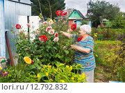 Купить «Пожилая женщина обрабатывает георгины, которые она вырастила сама», эксклюзивное фото № 12792832, снято 16 августа 2015 г. (c) Наталья Федорова / Фотобанк Лори