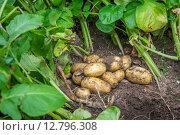 Купить «Fresh potatoes in the soil», фото № 12796308, снято 22 мая 2019 г. (c) PantherMedia / Фотобанк Лори