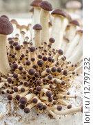 Купить «southern poplar mushroom on a mushroom substrate», фото № 12797232, снято 21 июля 2019 г. (c) PantherMedia / Фотобанк Лори