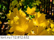 Купить «Жёлтые листья канадского клёна, осенний прозрачный свет. Подмосковье», фото № 12812632, снято 20 сентября 2015 г. (c) Устенко Владимир Александрович / Фотобанк Лори