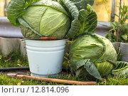 Купить «Два кочана капусты и ведро», фото № 12814096, снято 4 октября 2015 г. (c) Евгений Анкудинов / Фотобанк Лори