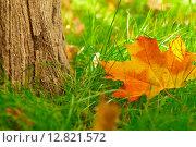 Купить «Опавший кленовый лист лежит на траве рядом со стволом дерева», фото № 12821572, снято 19 сентября 2015 г. (c) Георгий Дзюра / Фотобанк Лори