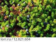 Купить «Водяника (Empetrum) или шикша в тундре, полуостров Рыбачий, Мурманская область», фото № 12821604, снято 5 августа 2015 г. (c) Виктор Сагайдашин / Фотобанк Лори