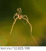 Купить «Лесной светлый паук висит на паутине», эксклюзивное фото № 12825188, снято 9 июня 2015 г. (c) Игорь Низов / Фотобанк Лори