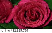 Купить «Букет красных роз в каплях росы», видеоролик № 12825756, снято 20 сентября 2015 г. (c) Юлия Машкова / Фотобанк Лори