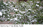 Купить «Зеленые листья покрыты снегом», видеоролик № 12832124, снято 9 октября 2015 г. (c) Володина Ольга / Фотобанк Лори