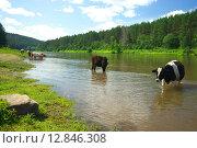 Купить «Коровы на берегу реки Ай», фото № 12846308, снято 20 июля 2015 г. (c) Игорь Потапов / Фотобанк Лори