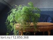 Купить «Аспарагус перистый в цветочном горшке в интерьере», фото № 12850368, снято 10 октября 2015 г. (c) Клыкова Инна / Фотобанк Лори