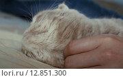 Купить «Шотландская вислоухая серая кошка», видеоролик № 12851300, снято 9 октября 2015 г. (c) Александр Багно / Фотобанк Лори