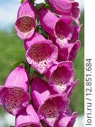 Купить «Соцветие Наперстянки пурпурной (лат. Digitalis purpurea) крупным планом», эксклюзивное фото № 12851684, снято 29 июня 2015 г. (c) Елена Коромыслова / Фотобанк Лори