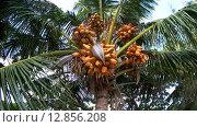 Купить «Спелый кокос падает с пальмы качающейся на ветру, Мальдивские острова», видеоролик № 12856208, снято 11 октября 2015 г. (c) KEN VOSAR / Фотобанк Лори