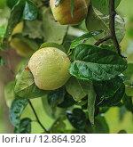 Плоды айвы на дереве с капелями дождя. Стоковое фото, фотограф A_ksenya / Фотобанк Лори