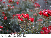 Купить «Красные  розы в снегу», фото № 12866124, снято 27 сентября 2015 г. (c) Татьяна Васильева / Фотобанк Лори