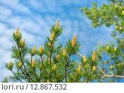 Купить «Сосновые ветки с почками на фоне неба», фото № 12867532, снято 4 июня 2015 г. (c) Икан Леонид / Фотобанк Лори