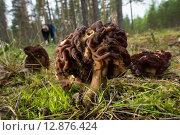Весенние грибы строчки. Стоковое фото, фотограф Игорь Акимов / Фотобанк Лори