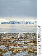 Купить «Reindeer in arctic summer», фото № 12895804, снято 25 апреля 2019 г. (c) PantherMedia / Фотобанк Лори