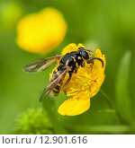 Купить «Муха-журчалка сидит на жёлтом цветке», эксклюзивное фото № 12901616, снято 29 июня 2015 г. (c) Игорь Низов / Фотобанк Лори