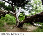Старое дерево (2012 год). Редакционное фото, фотограф Ольга Левадная / Фотобанк Лори