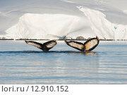 Купить «Хвосты горбатых китов в воде на фоне льдин», фото № 12910152, снято 25 февраля 2020 г. (c) Vladimir / Фотобанк Лори