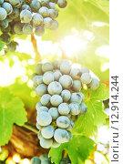 Купить «Red Grapes on the Vine», фото № 12914244, снято 20 сентября 2015 г. (c) Дмитрий Калиновский / Фотобанк Лори