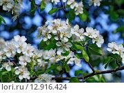 Купить «Весна. Груша цветёт (Pyrus communis)», фото № 12916424, снято 3 мая 2015 г. (c) Сергей Трофименко / Фотобанк Лори