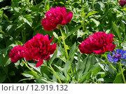 Малиновые узколистные пионы (лат. Paeonia) в саду. Стоковое фото, фотограф Елена Коромыслова / Фотобанк Лори