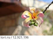 Цветок на дереве Хоризия, Кипр. Стоковое фото, фотограф Наталья Гуреева / Фотобанк Лори