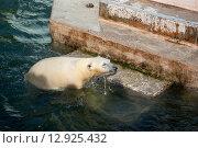 Белый медведь. Стоковое фото, фотограф Василий Бронников / Фотобанк Лори