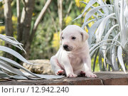Купить «Little Puppy in the garden», фото № 12942240, снято 17 июня 2019 г. (c) PantherMedia / Фотобанк Лори