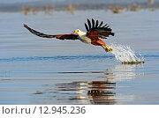 Купить «Орел охотится на рыбу», фото № 12945236, снято 1 января 2012 г. (c) Эдуард Кислинский / Фотобанк Лори