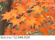 Купить «Красные листья клёна осенью», эксклюзивное фото № 12946024, снято 24 октября 2015 г. (c) Svet / Фотобанк Лори