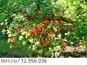 Купить «Ветви красной смородины в ярких лучах солнца», фото № 12956036, снято 1 августа 2015 г. (c) Максим Мицун / Фотобанк Лори