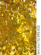 Желтые листья березы осенним солнечным днем. Стоковое фото, фотограф Юрий Волобуев / Фотобанк Лори